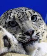 历时七天七夜 青海囊谦救助受伤雪豹