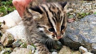 珍稀动物豹猫现身湖北国家级自然保护区