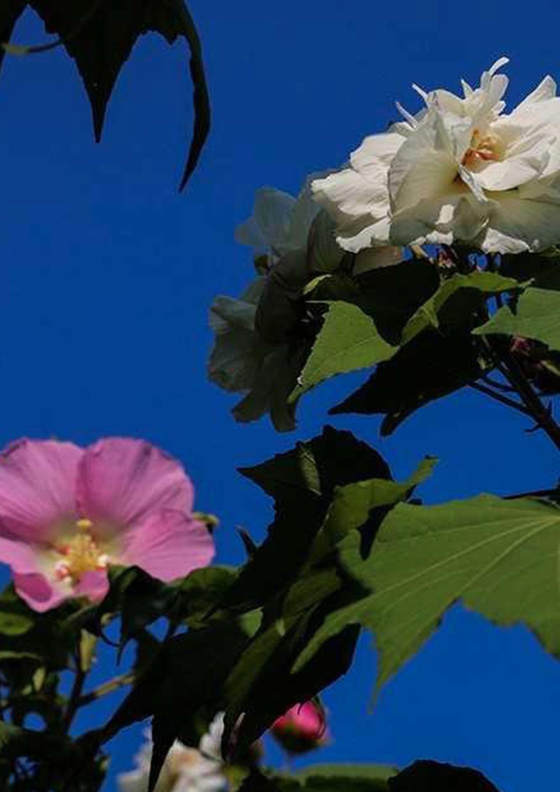 广州木芙蓉进入盛花期 花色一日三变