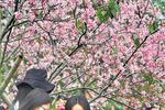 南沙大岗樱花开了美晕人!