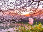 无锡太湖赏樱攻略