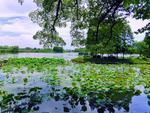 太湖鼋头渚赏荷