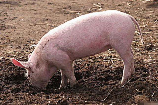 广州农业生产增速创26年新高 去年生猪出栏42.22万头