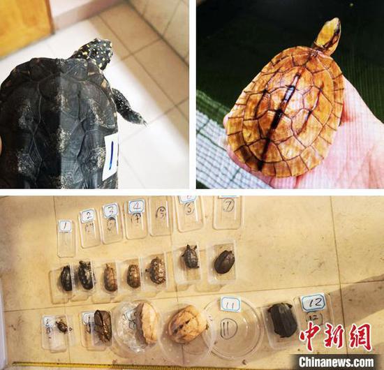 警方缴获的野生龟类广州警方 供图 广州警方 供图