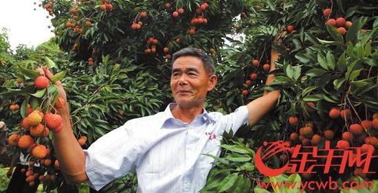 桂味市场售价每斤 8-10 元 金羊网记者 王俊伟 摄