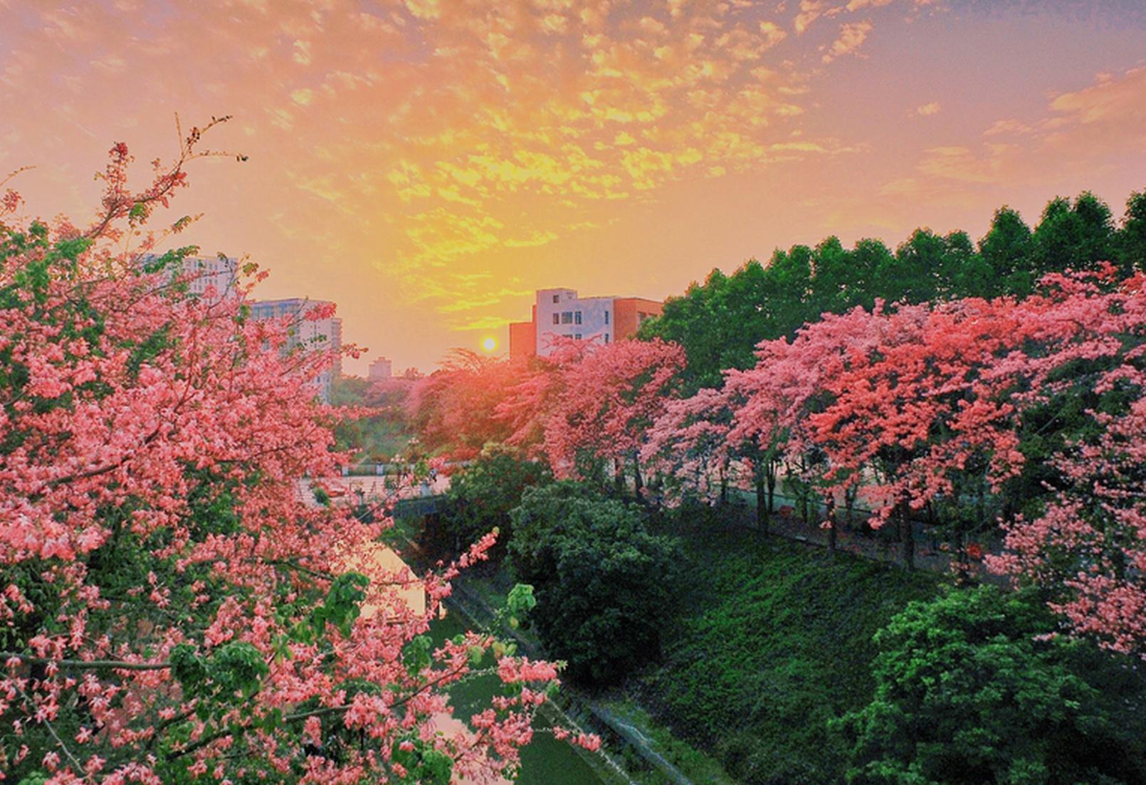 广州最美丝木棉花海盛放