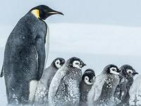 拍摄中企鹅有难 BBC打破不人为干预传统助其脱困