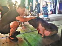 奶茶店110斤宠物猪成网红