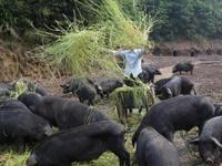 广东引进今年首批进口种猪 每头母猪年产仔猪预计可达28头
