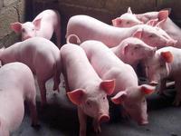 新希望拟投43亿元再建10个养猪场 年出栏量超300万头