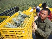 广东农产品出口新开端:湛江徐闻菠萝首次出口日本