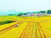 粤已收晚稻超600万亩 预计11月下旬基本完成晚稻收割