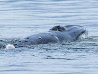 深圳人以后还能看到近岸布氏鲸吗?