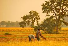 袁隆平超级杂交有机水稻在阳春市试验种植成功