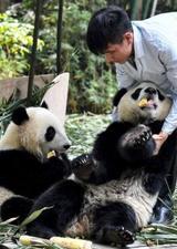 广州大熊猫双胞胎断母乳