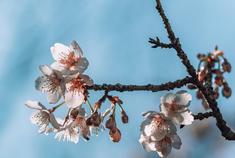 无锡太湖鼋头渚樱花如梦似幻