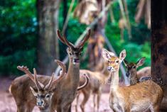 海南找寻濒临灭绝的坡鹿