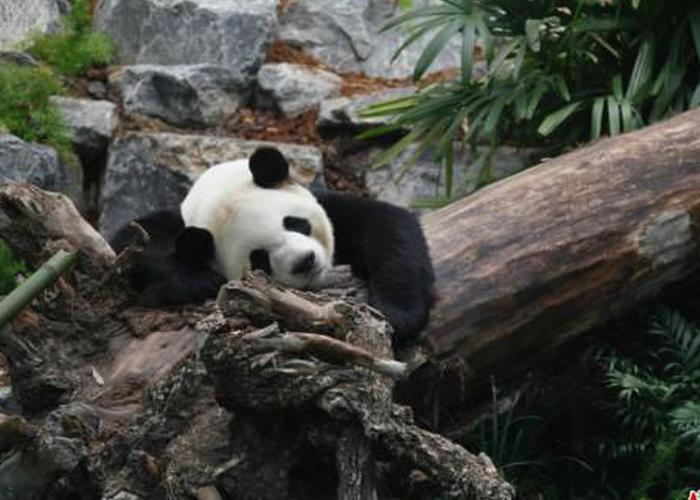 旅加大熊猫迁居后首度公开亮相
