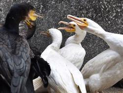 深圳野生动物园引入10只鸬鹚
