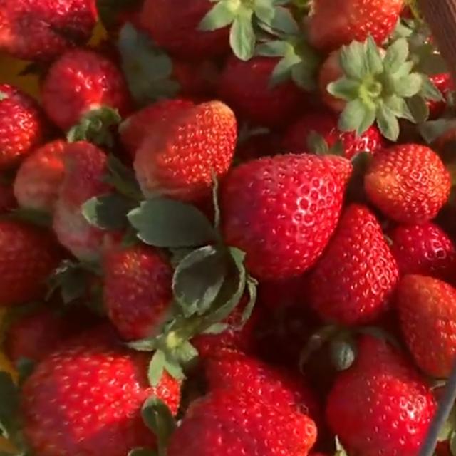 白云千亩草莓等你来采摘