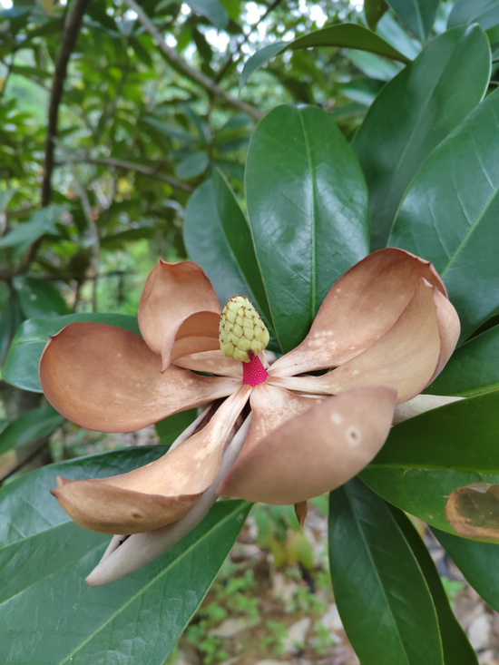 迁地保护在东莞市大岭山森林公园的长梗木莲首次开花