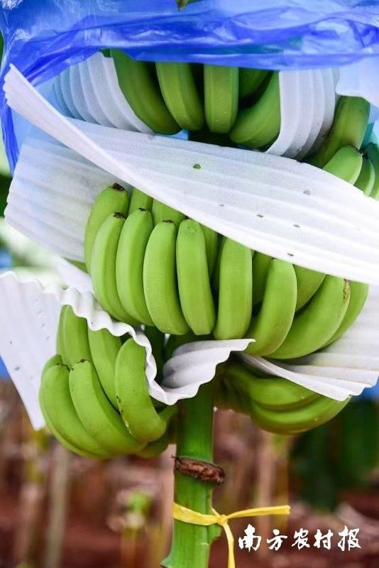 广东香蕉。