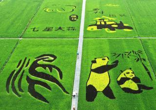 """水稻专家在稻田里种出""""大熊猫"""""""
