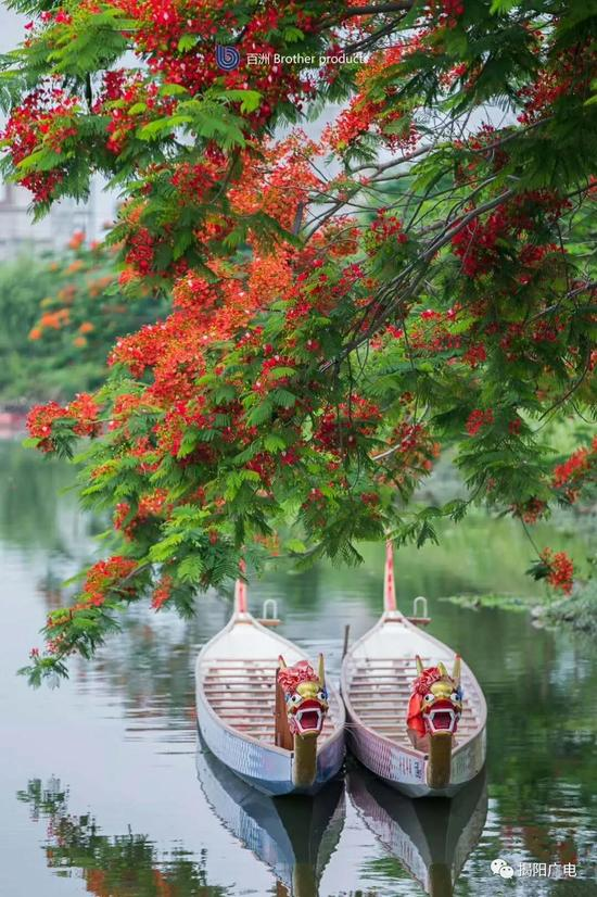 金凤树下的龙舟(摄影:黄逊彤)