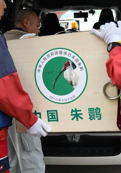 时隔11年 中国向日本提供一对朱鹮