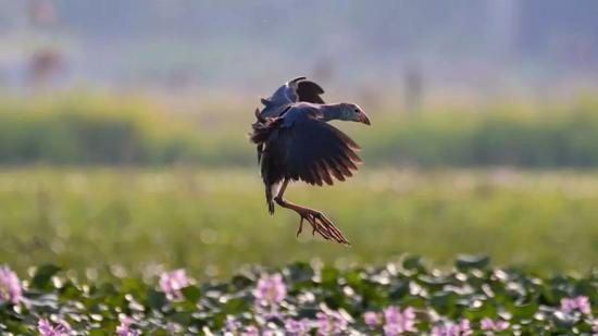 """百年难得一遇 饶平惊现""""世界最美水鸟"""""""