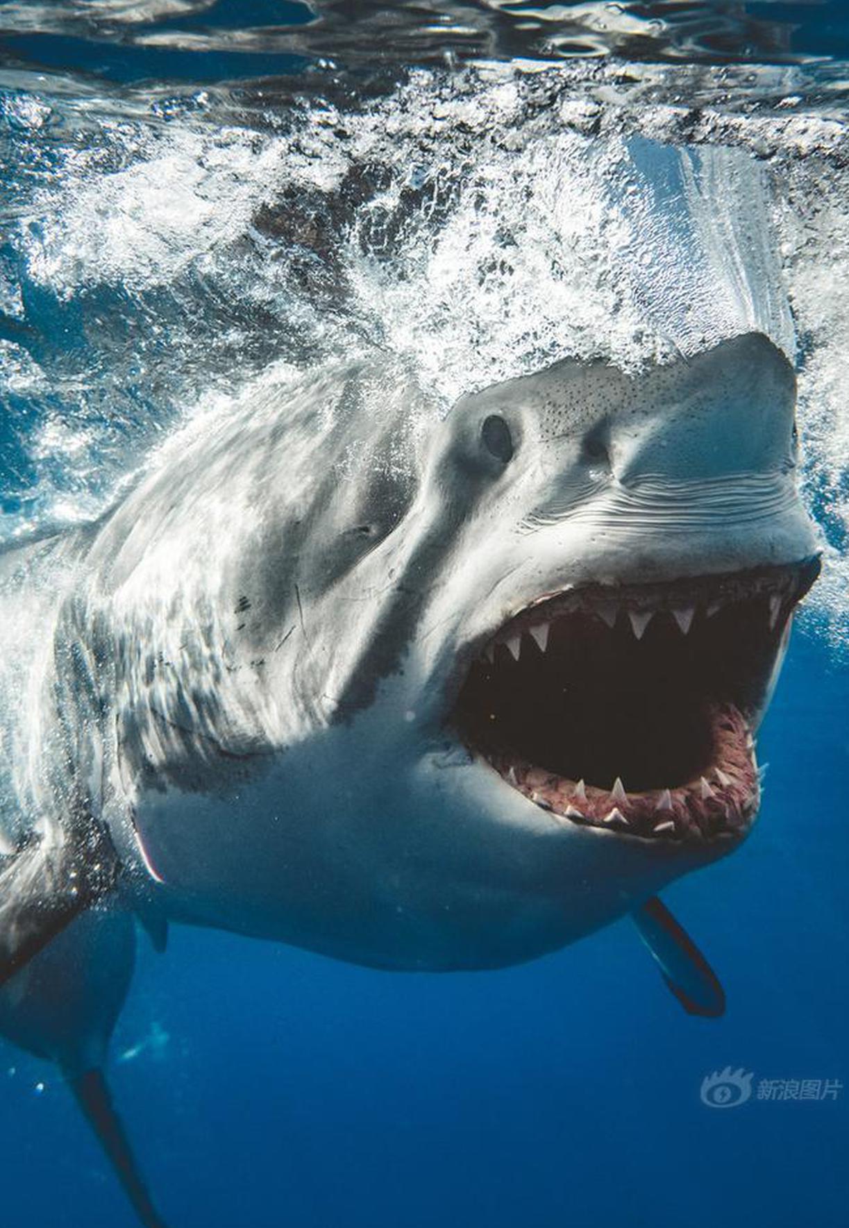 摄影师近距离拍摄凶猛鲨鱼