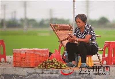 承包果树的周婆婆在稻田边卖荔枝东莞时报记者 李梦颖 摄