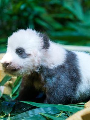 广州熊猫宝宝隆仔首次与游客见面