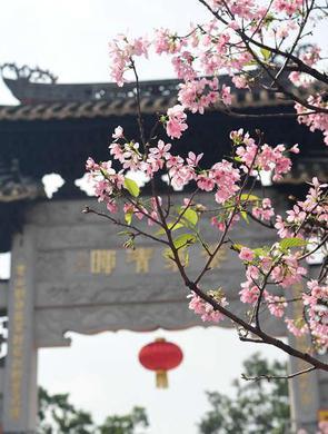 来广州番禺宝墨园邂逅樱花雨