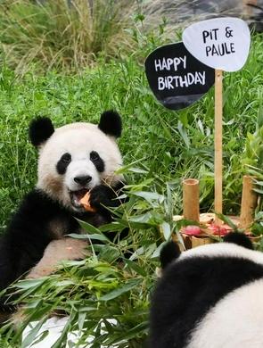 柏林动物园为德国出生大熊猫双胞胎庆生