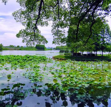 陆建华:在无锡太湖鼋头渚赏荷