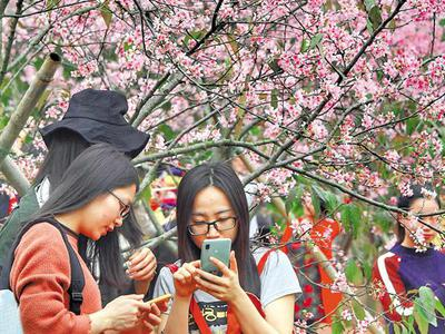 南沙大岗樱花:开春风十里只等你