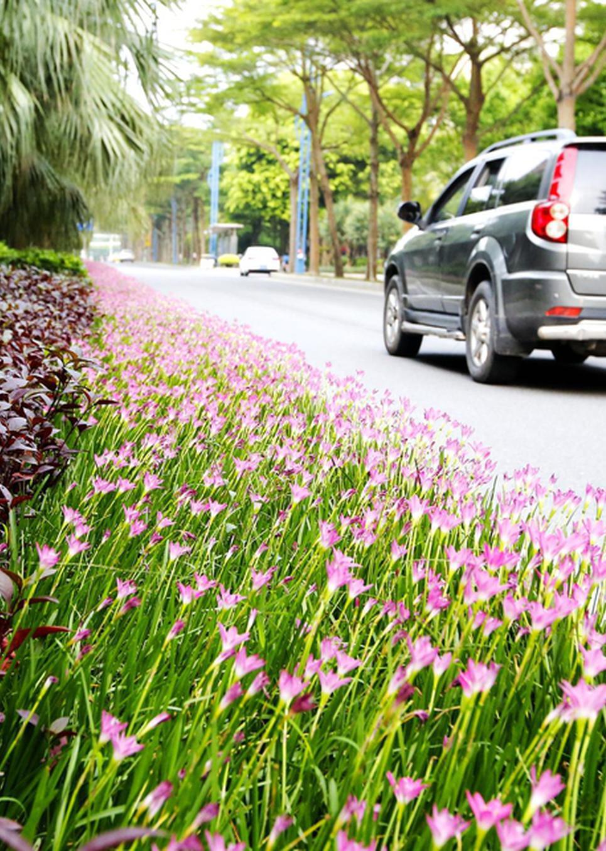 湛江街道沿途风景:风雨花正尽情绽放