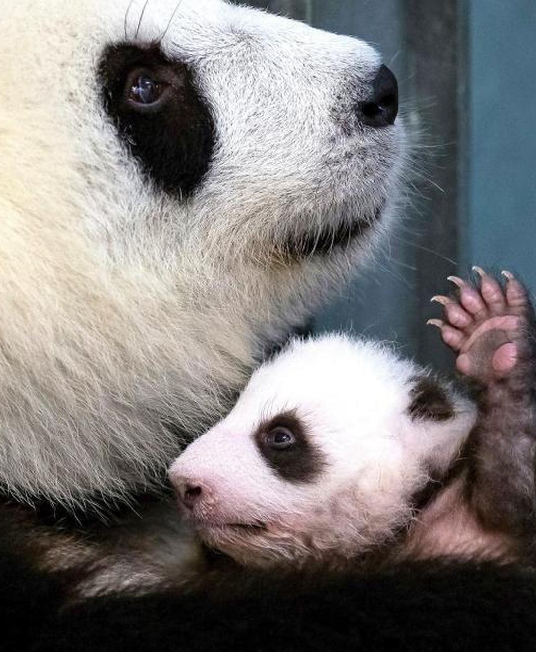 柏林大熊猫宝宝又曝萌照