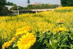 海珠湿地公园一大片油菜花正绽放