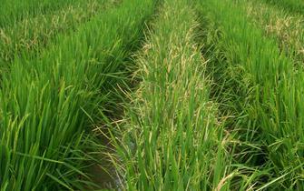 FDA给中国转基因水稻发通行证