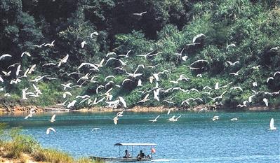 流溪河国家森林公园白鹭飞。记者邱伟荣 通讯员刘利珍摄