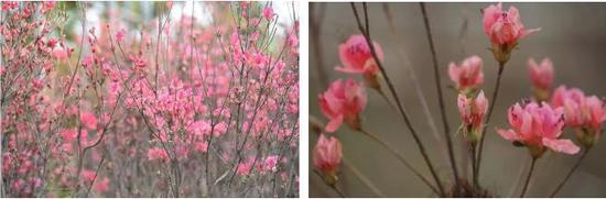 本次映山红花展共有1600棵,展映山红杜鹃品种作为观赏主线,共展出400多盆杜鹃花。不少参观的市民都表示,很难得可以在市区观赏到这么大片的映山红,勾起不少回忆。