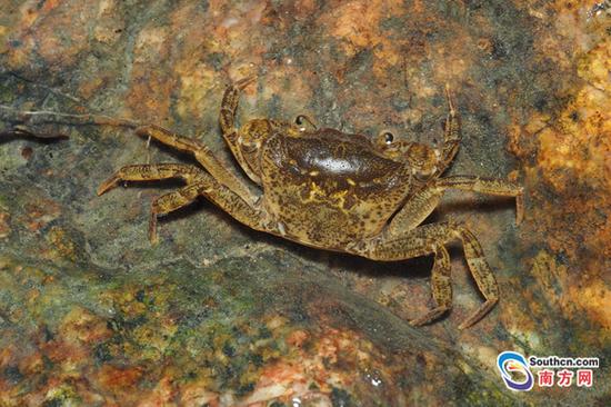 横琴粤溪蟹体型偏小,成体头胸甲不过一元硬币的大小,背面棕色,喜欢躲在石头下面。