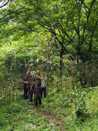 熊猫守护者移栽竹林现场