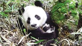 怀抱幼崽的秦岭野生大熊猫。(照片由雍严格提供)