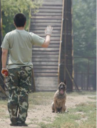 图为参与汶川地震搜救犬火狼 12岁