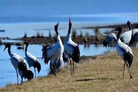 守护高原神鸟黑颈鹤
