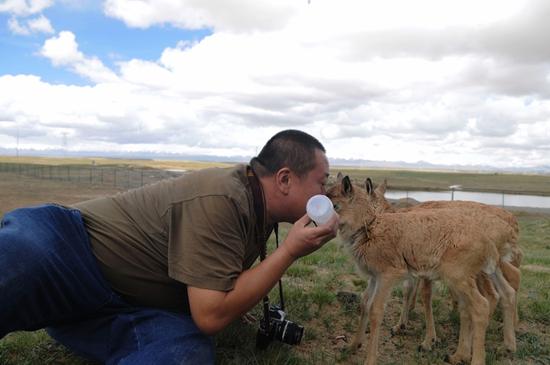 贺瑞明给保护站的小藏羚羊喂奶。