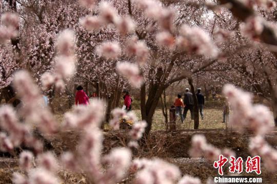 资料图。2016年4月,游客在敦煌市月牙泉镇月牙泉村的李广杏园中赏花。 张晓亮 摄